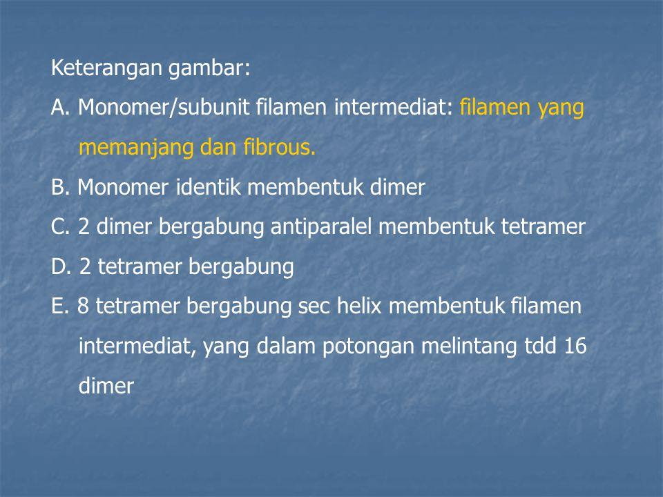 Keterangan gambar: A. Monomer/subunit filamen intermediat: filamen yang. memanjang dan fibrous. B. Monomer identik membentuk dimer.