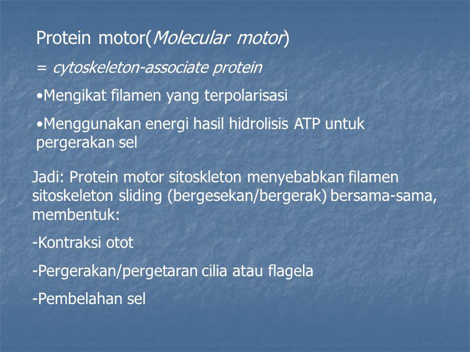Protein motor(Molecular motor)