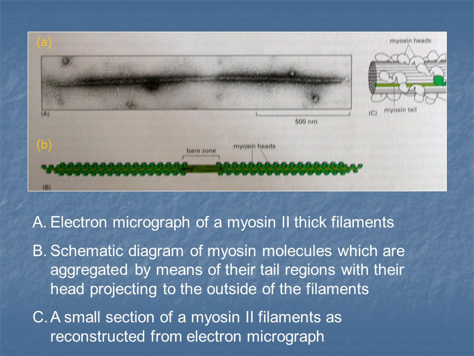 Electron micrograph of a myosin II thick filaments