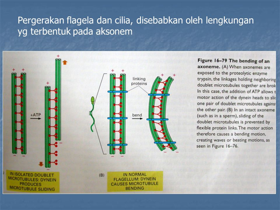 Pergerakan flagela dan cilia, disebabkan oleh lengkungan yg terbentuk pada aksonem