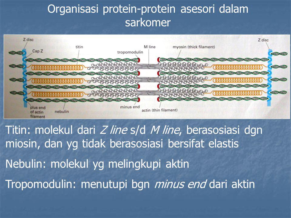 Organisasi protein-protein asesori dalam sarkomer