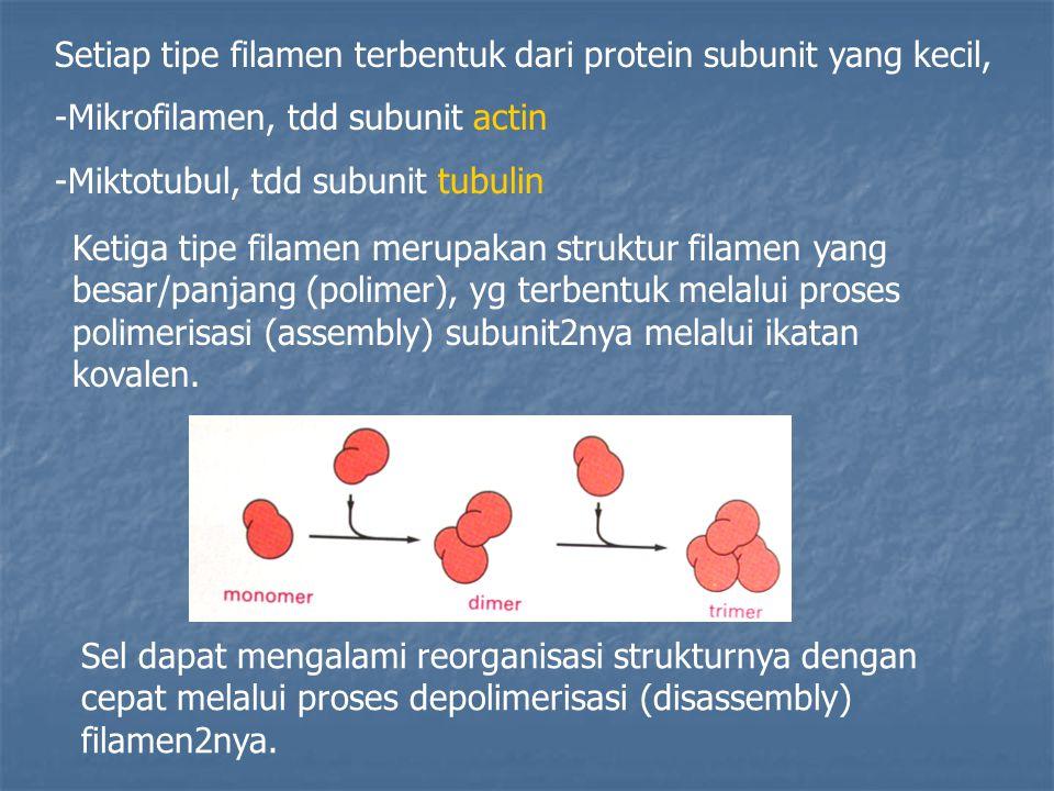 Setiap tipe filamen terbentuk dari protein subunit yang kecil,