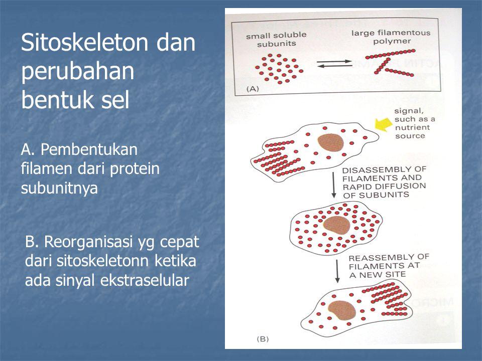 Sitoskeleton dan perubahan bentuk sel