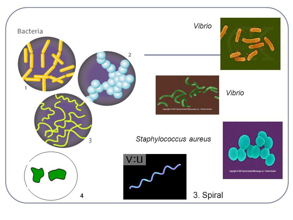 Vibrio Vibrio Staphylococcus aureus 3. Spiral 4