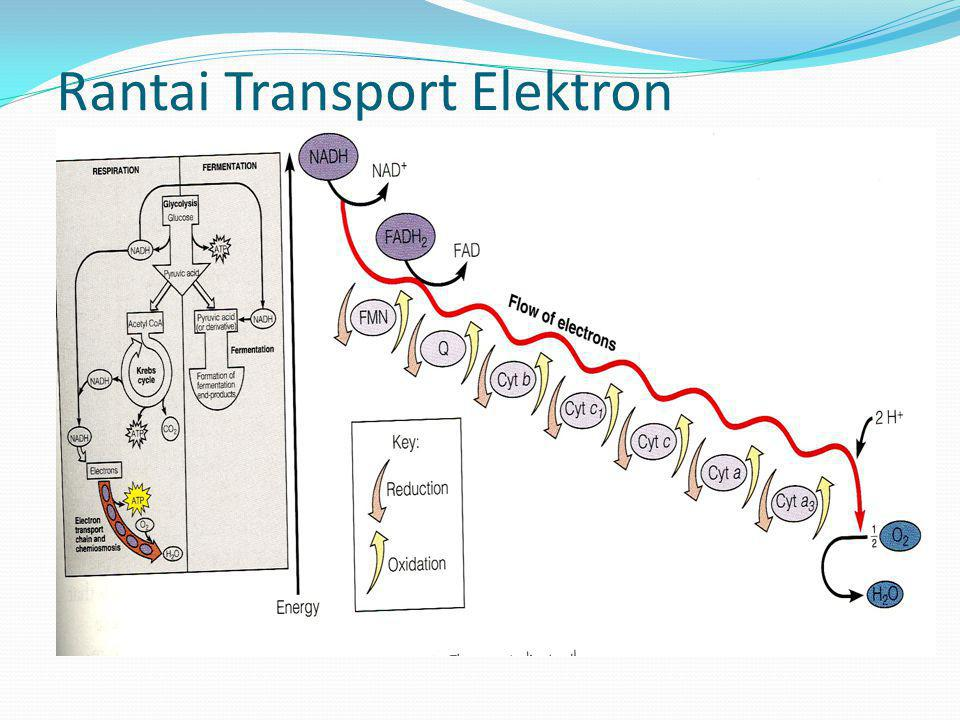 Rantai Transport Elektron