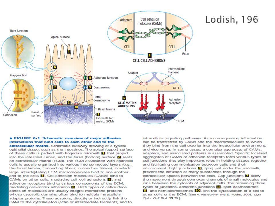 Lodish, 196