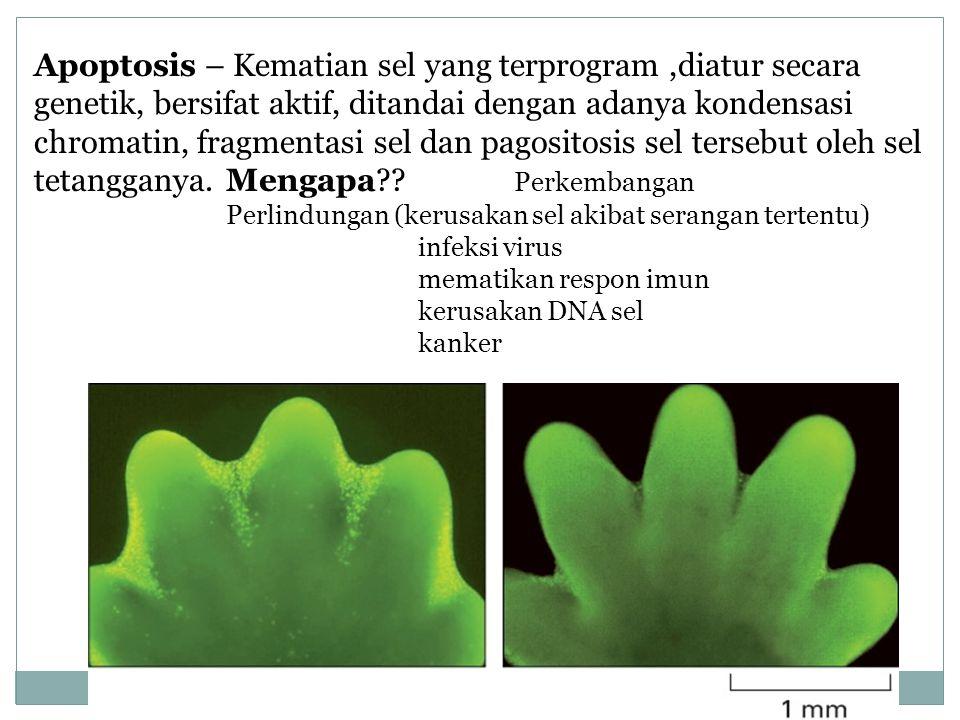 Apoptosis – Kematian sel yang terprogram ,diatur secara genetik, bersifat aktif, ditandai dengan adanya kondensasi chromatin, fragmentasi sel dan pagositosis sel tersebut oleh sel tetangganya. Mengapa Perkembangan