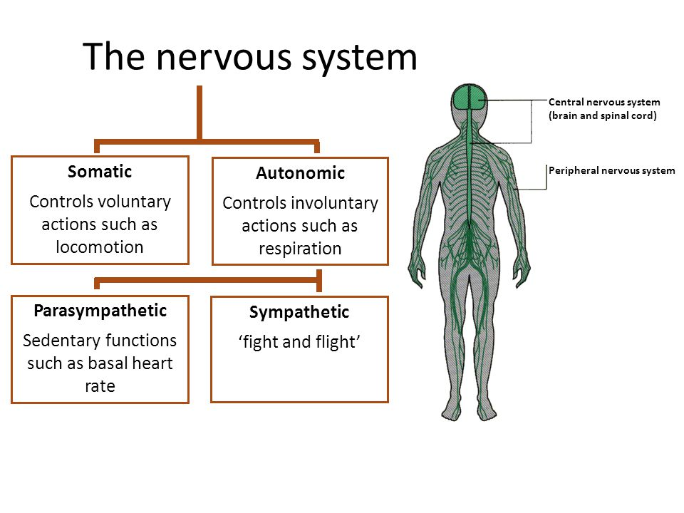 The nervous system Somatic Autonomic