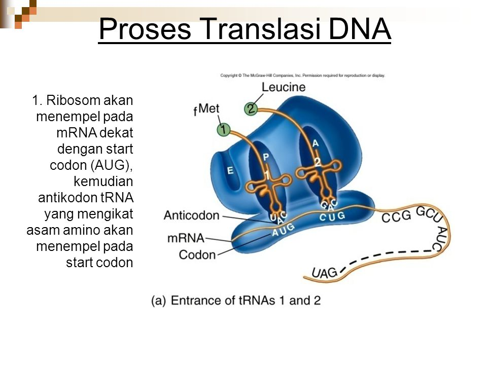 Proses Translasi DNA