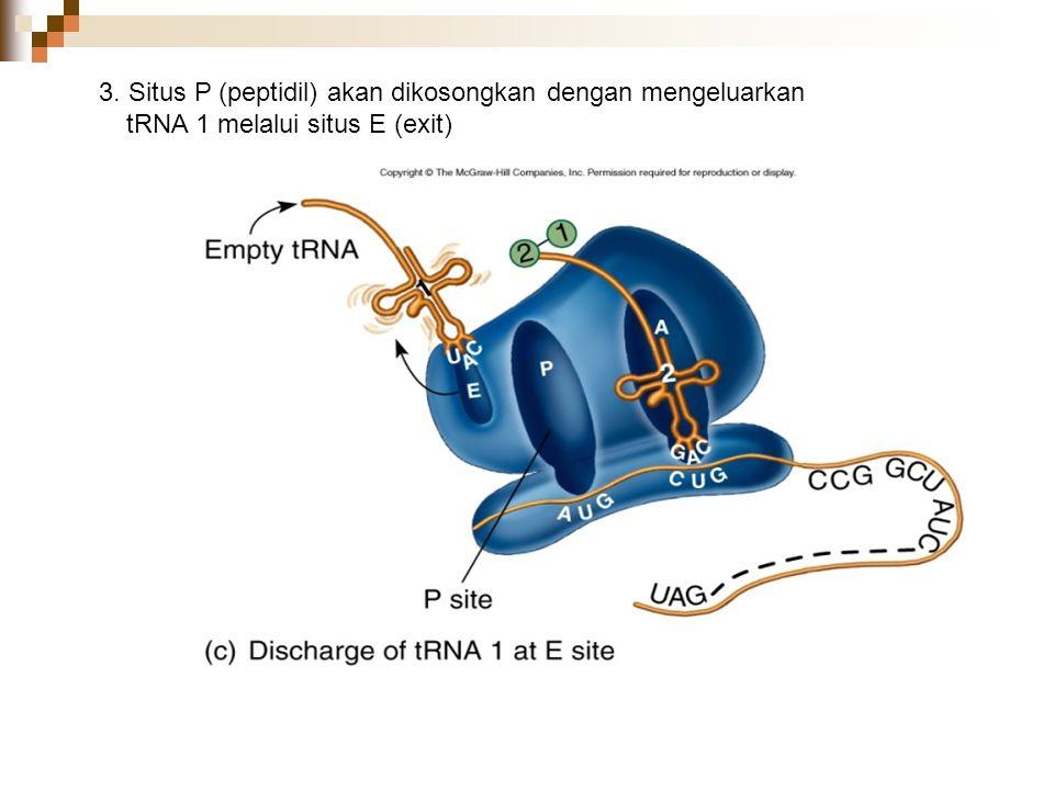 3. Situs P (peptidil) akan dikosongkan dengan mengeluarkan tRNA 1 melalui situs E (exit)