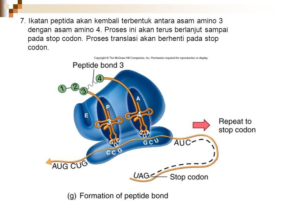 7. Ikatan peptida akan kembali terbentuk antara asam amino 3 dengan asam amino 4.