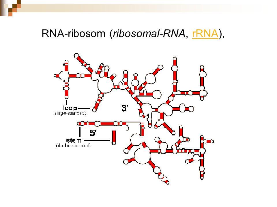 RNA-ribosom (ribosomal-RNA, rRNA),