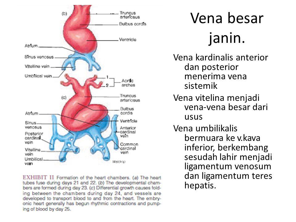 Vena besar janin. Vena kardinalis anterior dan posterior menerima vena sistemik. Vena vitelina menjadi vena-vena besar dari usus.