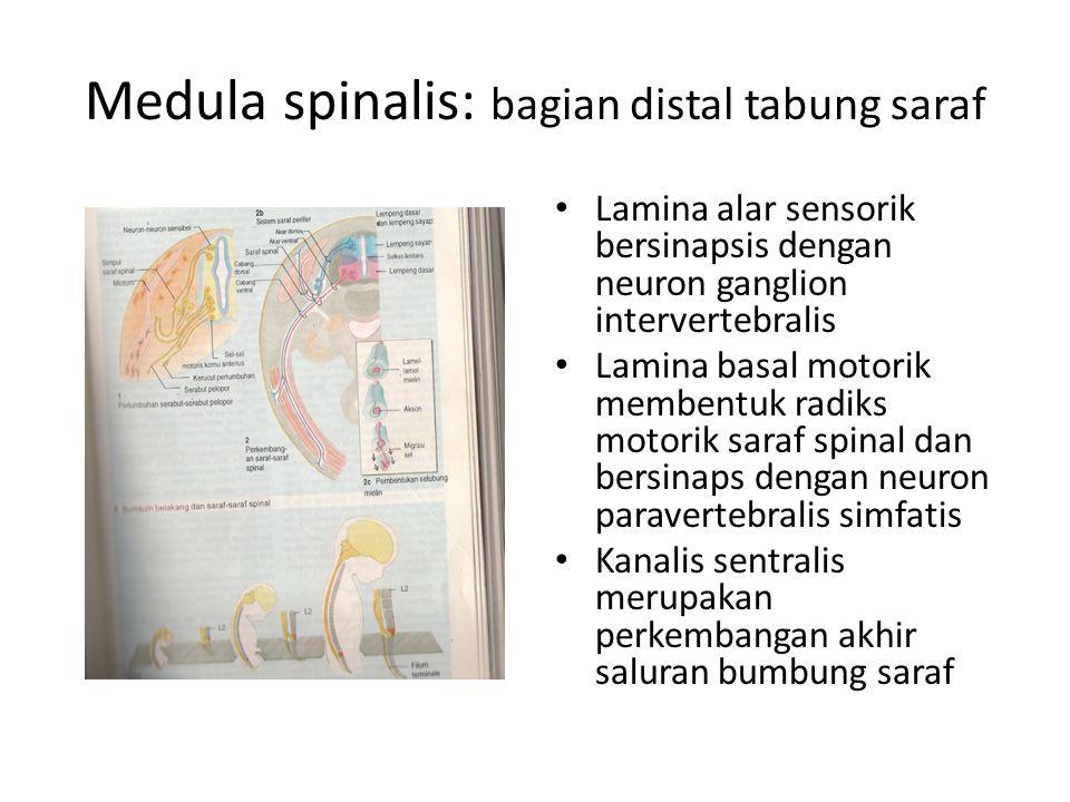Medula spinalis: bagian distal tabung saraf