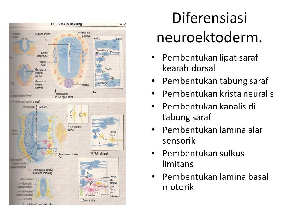 Diferensiasi neuroektoderm.