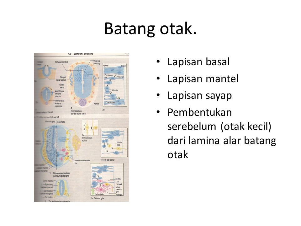 Batang otak. Lapisan basal Lapisan mantel Lapisan sayap