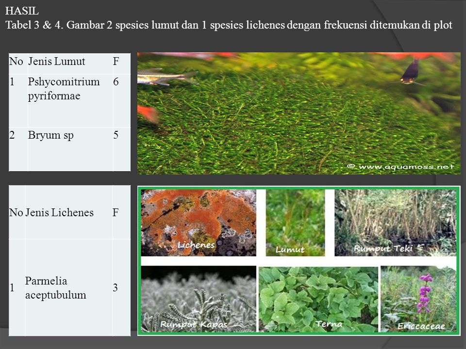 HASIL Tabel 3 & 4. Gambar 2 spesies lumut dan 1 spesies lichenes dengan frekuensi ditemukan di plot