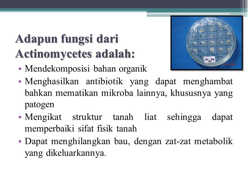 Adapun fungsi dari Actinomycetes adalah: