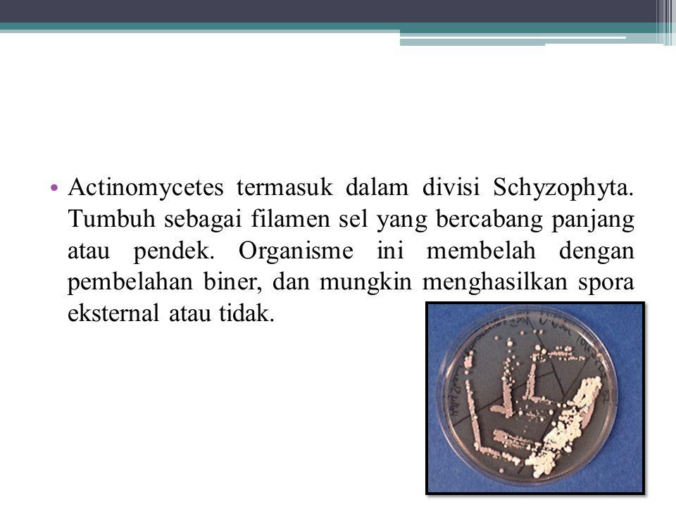 Actinomycetes termasuk dalam divisi Schyzophyta