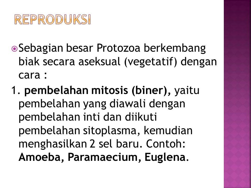 Reproduksi Sebagian besar Protozoa berkembang biak secara aseksual (vegetatif) dengan cara :