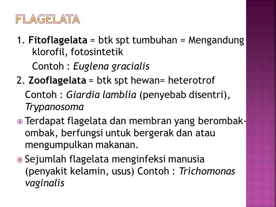Flagelata 1. Fitoflagelata = btk spt tumbuhan = Mengandung klorofil, fotosintetik. Contoh : Euglena gracialis.