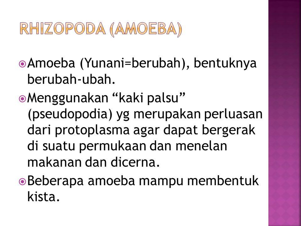 Rhizopoda (amoeba) Amoeba (Yunani=berubah), bentuknya berubah-ubah.