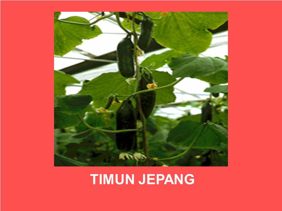 TIMUN JEPANG