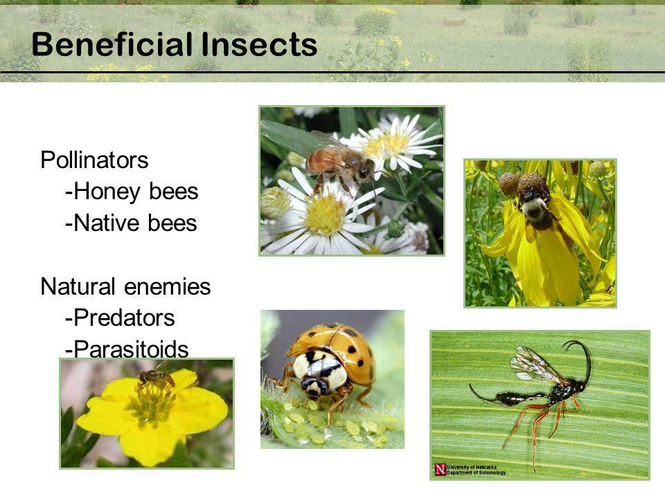 Beneficial Insects Pollinators -Honey bees -Native bees
