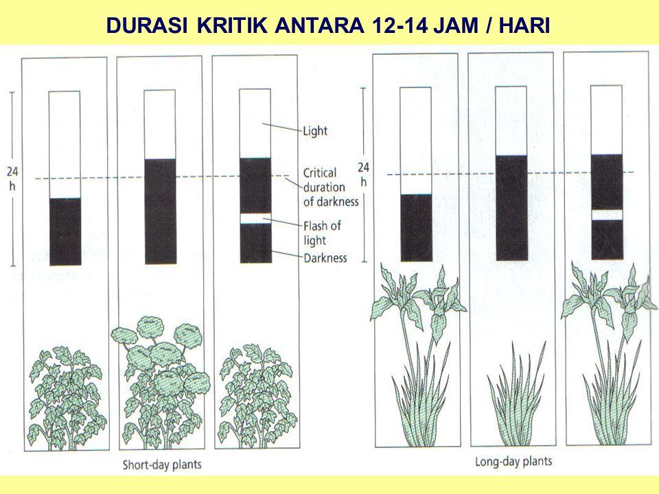 DURASI KRITIK ANTARA 12-14 JAM / HARI