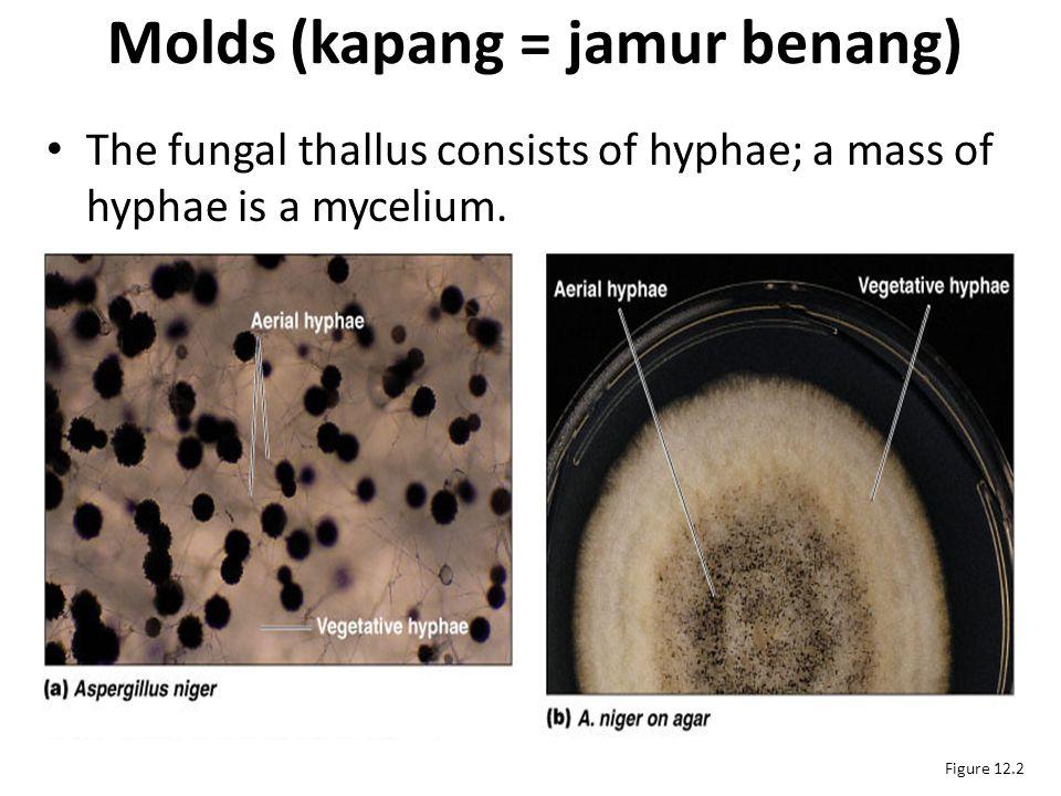 Molds (kapang = jamur benang)