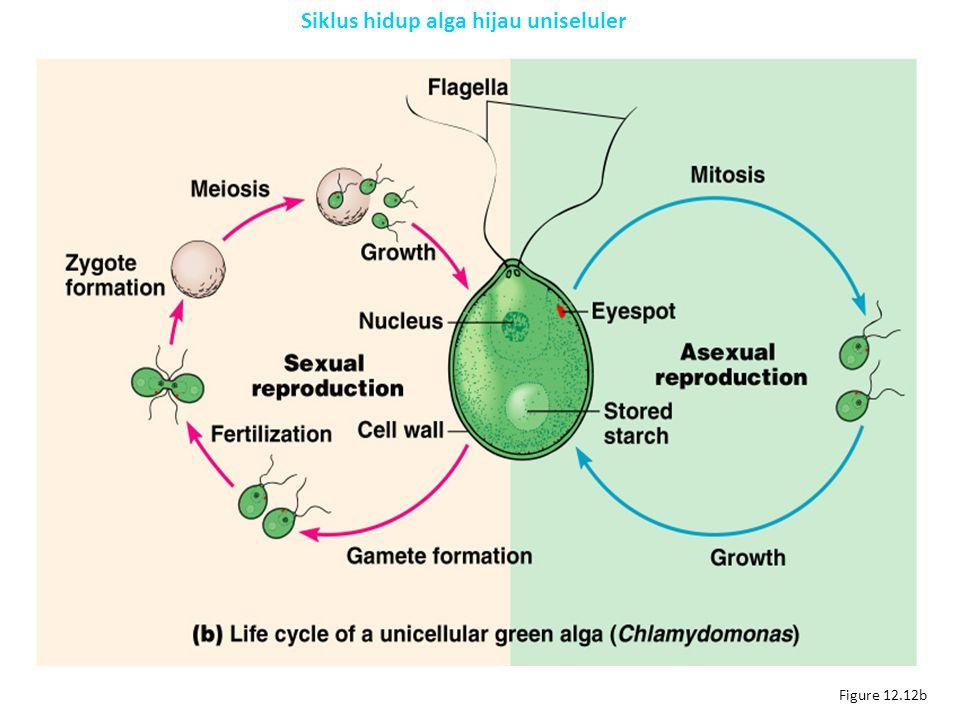 Siklus hidup alga hijau uniseluler
