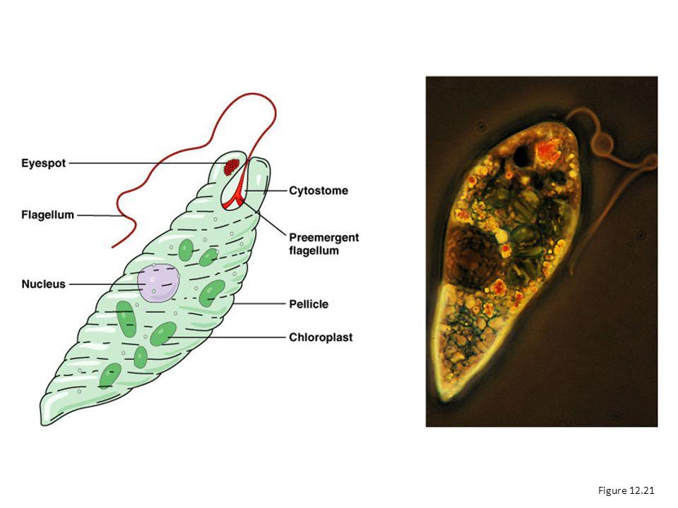 Euglenozoa Figure 12.21