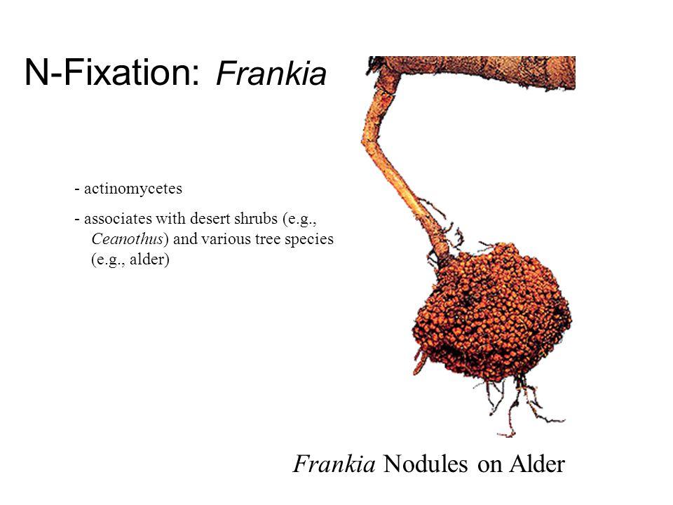 N-Fixation: Frankia Frankia Nodules on Alder - actinomycetes