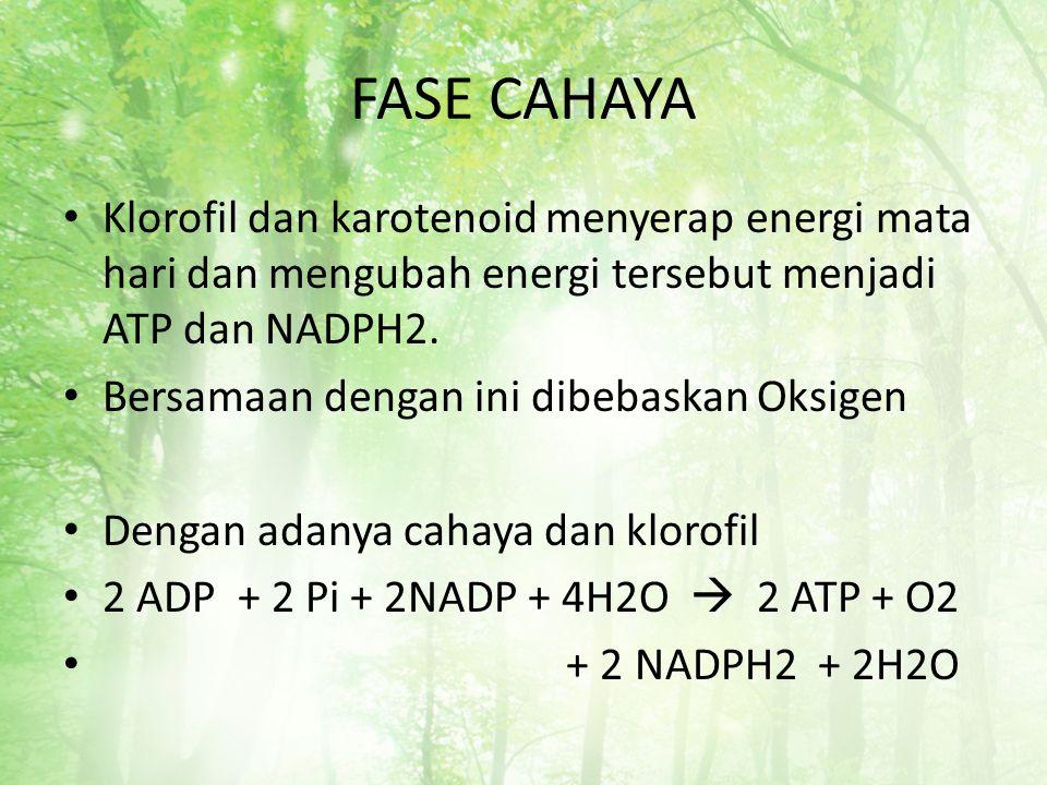 FASE CAHAYA Klorofil dan karotenoid menyerap energi mata hari dan mengubah energi tersebut menjadi ATP dan NADPH2.