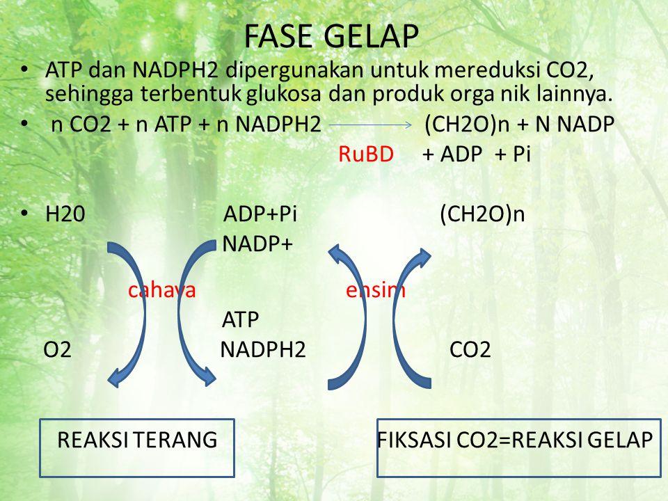 FASE GELAP ATP dan NADPH2 dipergunakan untuk mereduksi CO2, sehingga terbentuk glukosa dan produk orga nik lainnya.