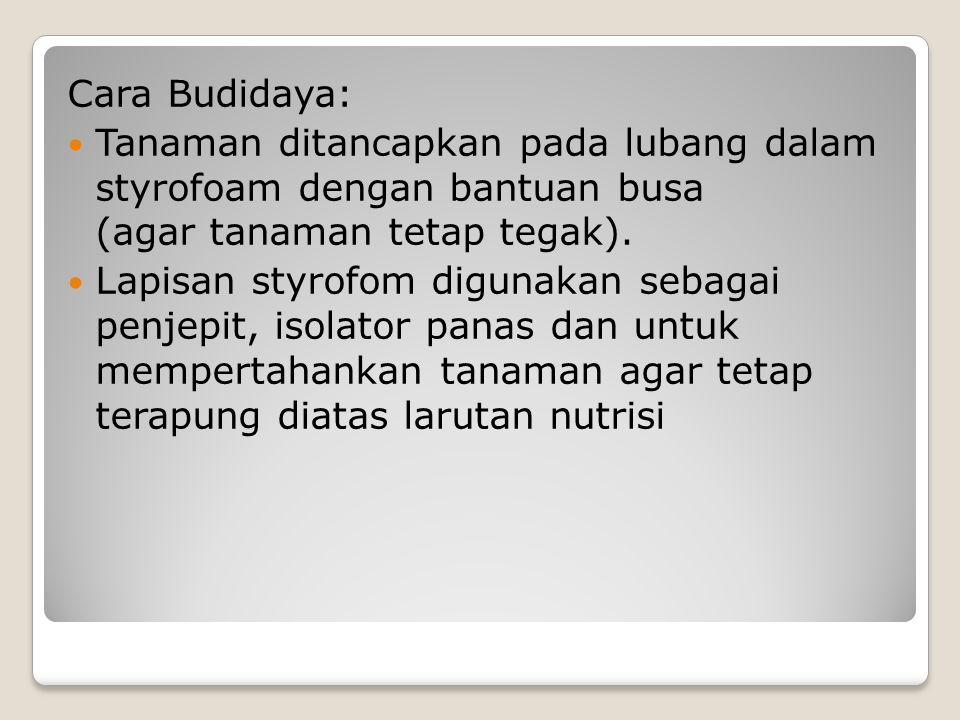 Cara Budidaya: Tanaman ditancapkan pada lubang dalam styrofoam dengan bantuan busa (agar tanaman tetap tegak).