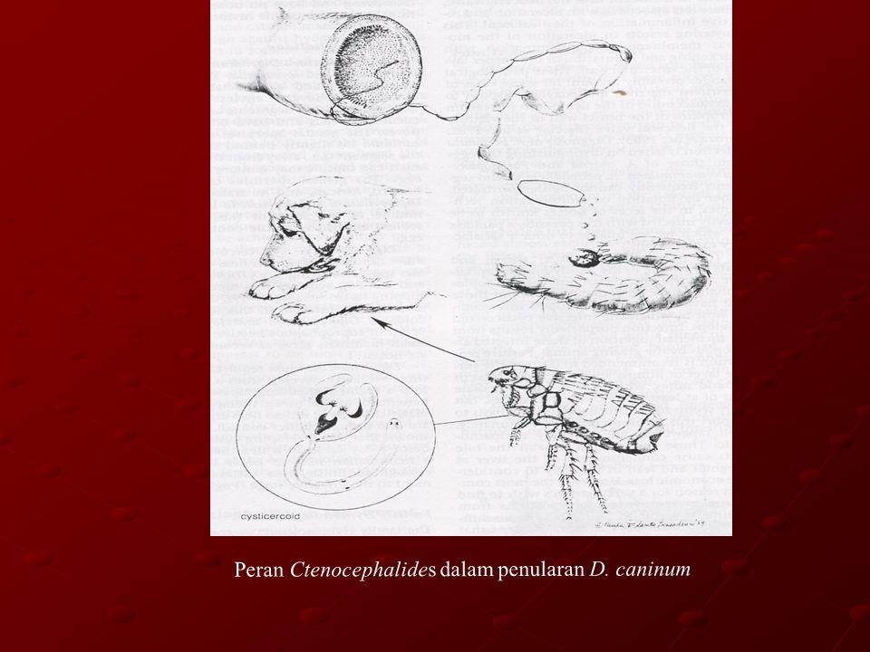 Peran Ctenocephalides dalam penularan D. caninum