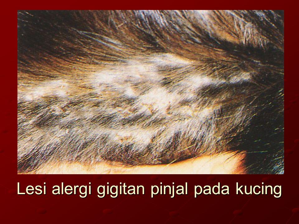 Lesi alergi gigitan pinjal pada kucing