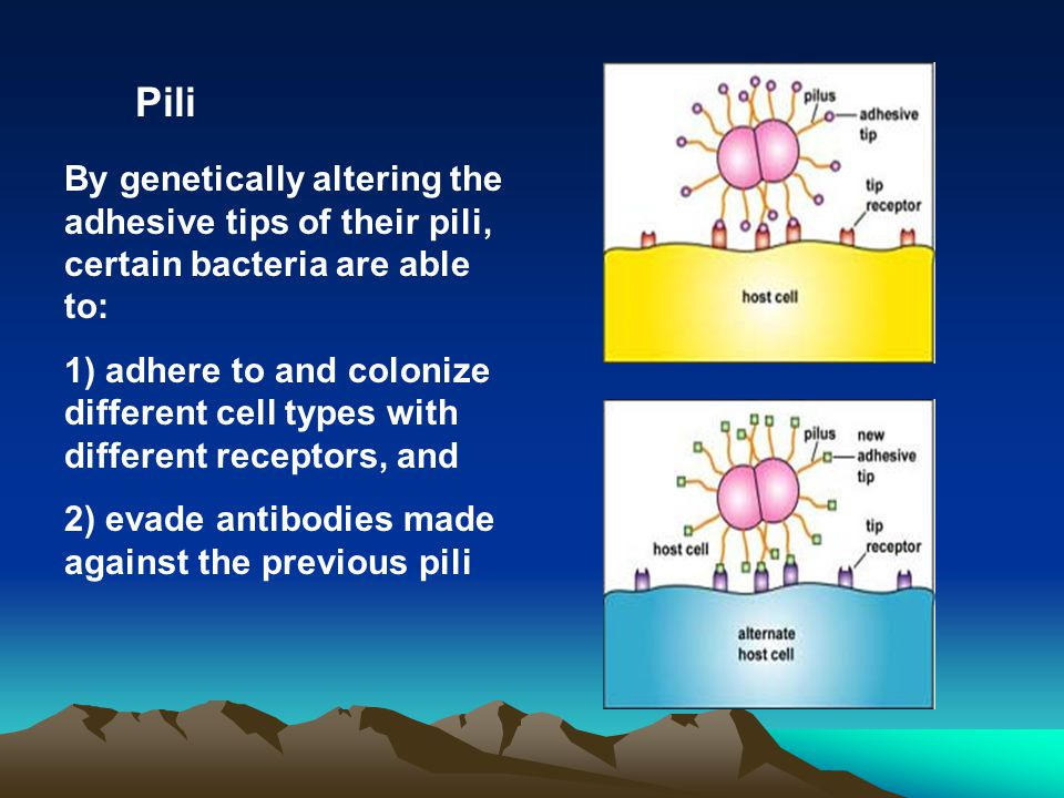Pili By genetically altering the adhesive tips of their pili, certain bacteria are able to:
