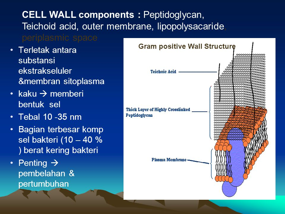 CELL WALL components : Peptidoglycan, Teichoid acid, outer membrane, lipopolysacaride, periplasmic space