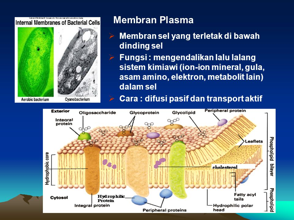 Membran Plasma Membran sel yang terletak di bawah dinding sel