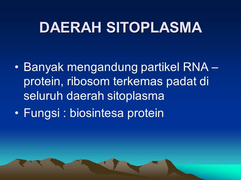 DAERAH SITOPLASMA Banyak mengandung partikel RNA – protein, ribosom terkemas padat di seluruh daerah sitoplasma.