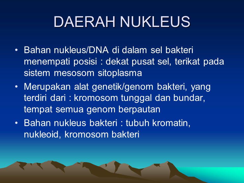 DAERAH NUKLEUS Bahan nukleus/DNA di dalam sel bakteri menempati posisi : dekat pusat sel, terikat pada sistem mesosom sitoplasma.
