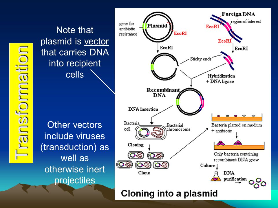 Note that plasmid is vector that carries DNA into recipient cells