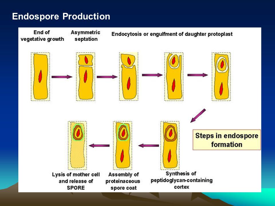 Endospore Production