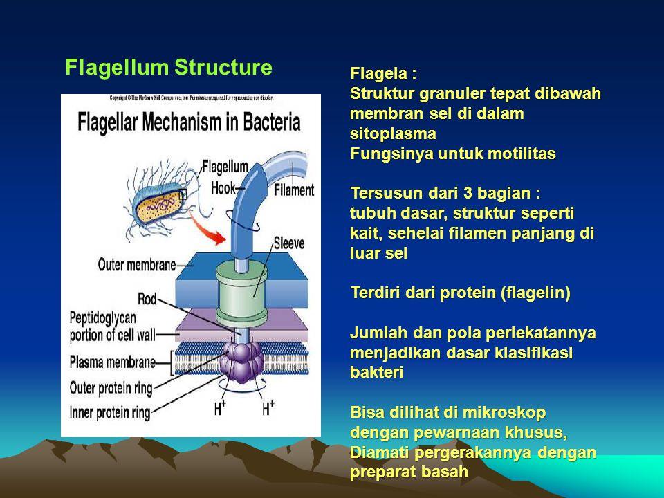 Flagellum Structure Flagela :
