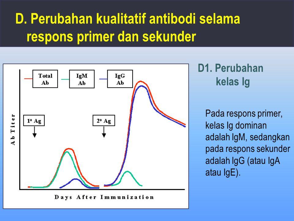 D. Perubahan kualitatif antibodi selama respons primer dan sekunder