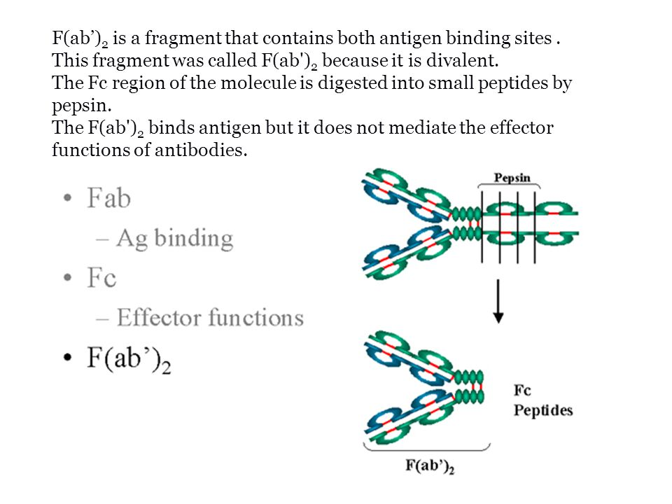 F(ab')2 is a fragment that contains both antigen binding sites .