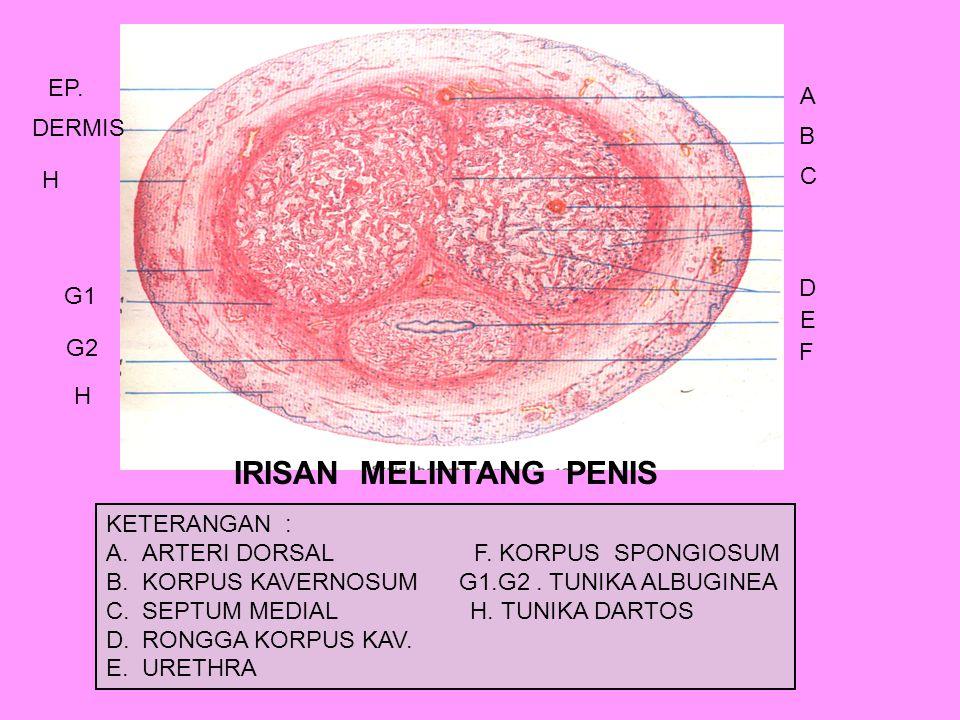 IRISAN MELINTANG PENIS