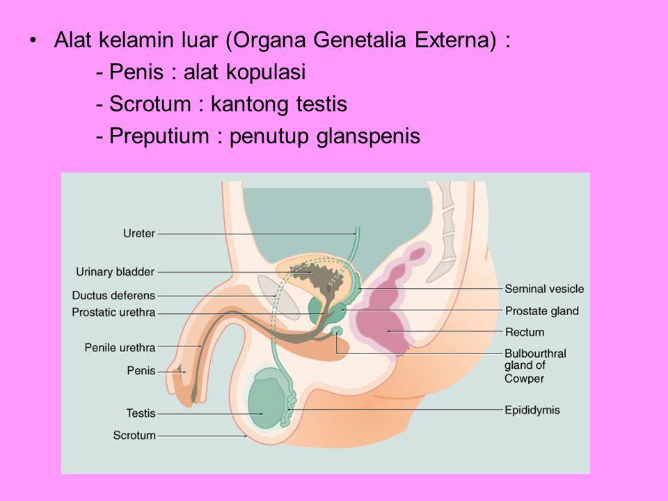 Alat kelamin luar (Organa Genetalia Externa) :